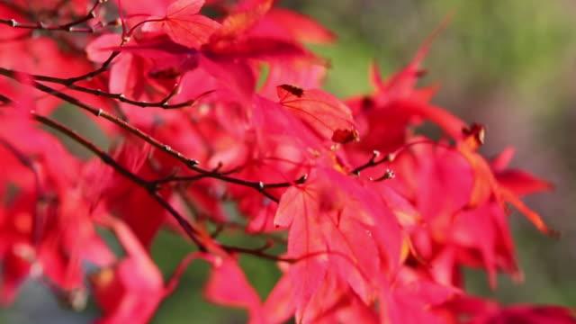 vidéos et rushes de autumn colours on an acer shrub in holehird garden - branche partie d'une plante