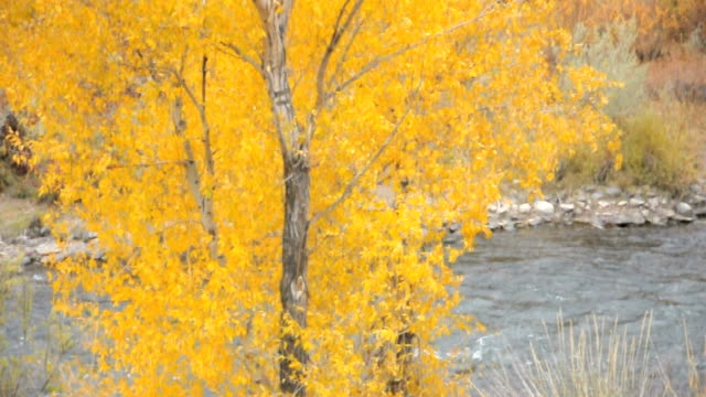 autumn cottonwood flowing in wind with river - cottonwood tree stock videos and b-roll footage