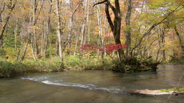 autumn foliage hangs over oirase river, lockdown - oirase river stock videos & royalty-free footage