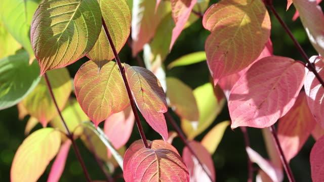 vídeos de stock e filmes b-roll de autumn foliage in holehird gardens, windermere, cu - cornus