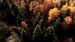 Autumn forest in sunny day. Colorful leaves and green spurce from vertical view