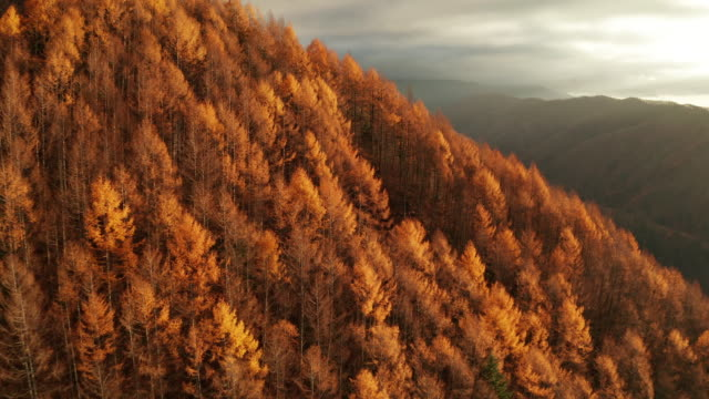 autumn forest in the fog at sunrise. aerial view. nagano, japan - 色が変わる点の映像素材/bロール