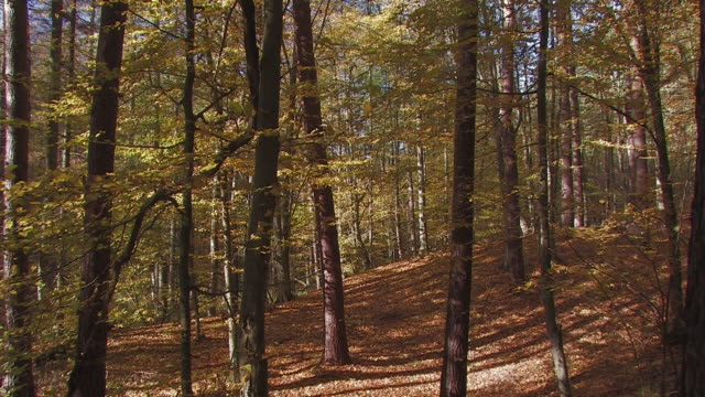 stockvideo's en b-roll-footage met autumn forest - berk