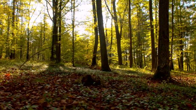 vídeos de stock, filmes e b-roll de ws outono floresta - raw footage