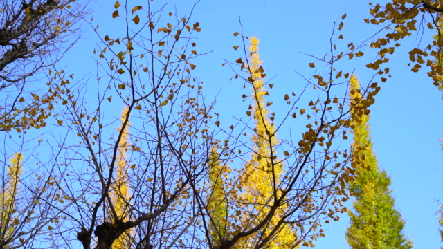 autumn ginkgo leaves are shaking in the blue sky by wind at front of rows of ginkgo trees along the ginkgo tree avenue in jingu gaien, chhiyoda ward, tokyo japan on november 17 2017. - alberato video stock e b–roll