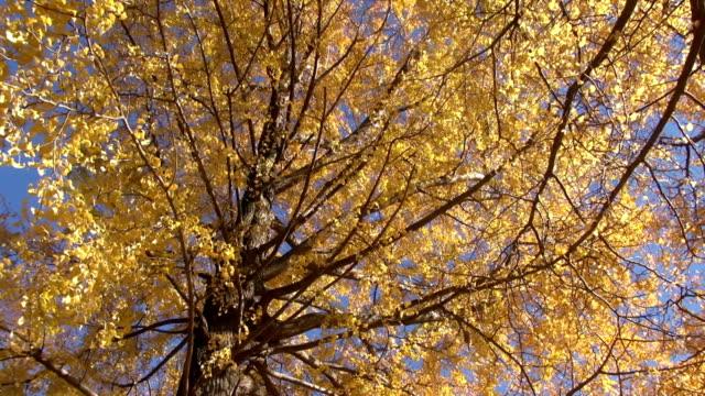 herbst ginkgobaum in einem windigen tag - ginkgobaum stock-videos und b-roll-filmmaterial