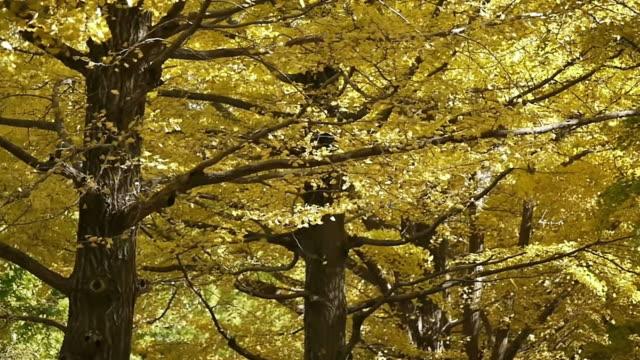 herbst ginkgo woods - ginkgobaum stock-videos und b-roll-filmmaterial