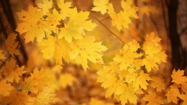 autumn golden background - maple leaf stock videos and b-roll footage