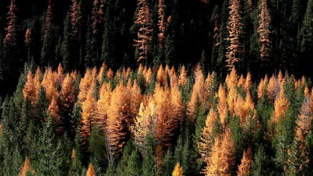 vídeos y material grabado en eventos de stock de autumn golden larch trees in pine forest. - pinaceae