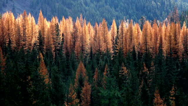 vídeos y material grabado en eventos de stock de autumn golden larch trees in pine forest with sun moving across forest. - pinaceae