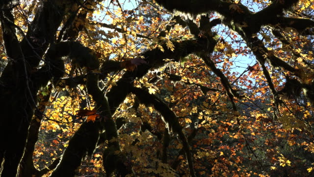 autumn golden leaves on maple zoom in - bigleaf maple stock videos and b-roll footage