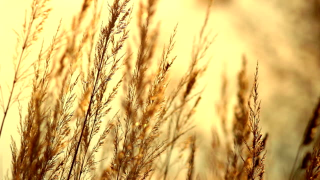 autumn golden spike - hd 25 fps stock videos & royalty-free footage