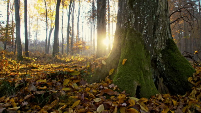 vidéos et rushes de slo, dans le missouri, le domaine d'automne dans la forêt - mousse végétale
