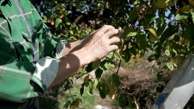 vídeos de stock, filmes e b-roll de colheita de outono - pomar