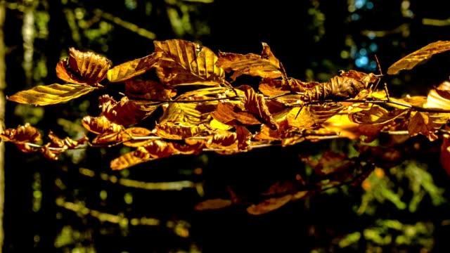 vídeos de stock, filmes e b-roll de outono na floresta. as folhas de outono balanç do vento com um fundo natural verde da árvore com foco selctive. clipe de vídeo 4k. - estampa de folha