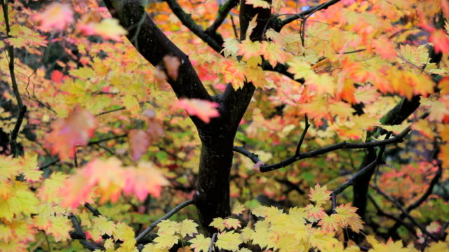 autumn in westonbirt and a maple tree displaying the seasonal colour of its leafs, gloucestershire, uk - gloucestershire stock videos and b-roll footage