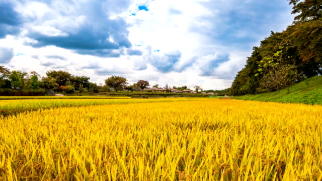 autumn landscape of field with yellow ripening rice in hahoe folk village (unesco world heritage site) - reis getreide stock-videos und b-roll-filmmaterial