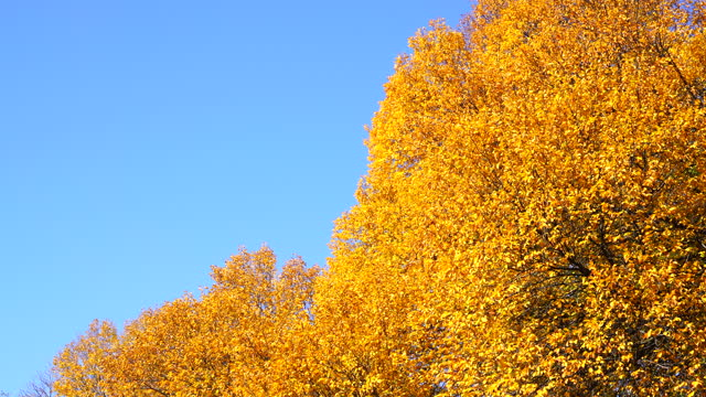 autumn leaf color trees glow in blue sky at central park in new york city. - 季節点の映像素材/bロール