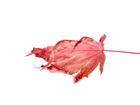autumn leaf time-lapse drying - drying stock videos & royalty-free footage