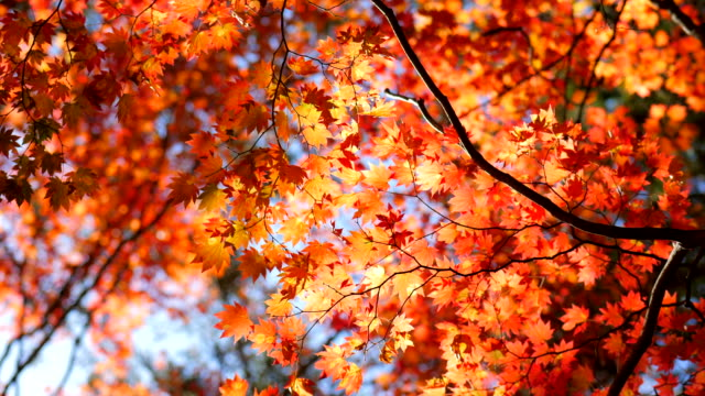 autumn leaf with blue sky - autumn stock videos & royalty-free footage