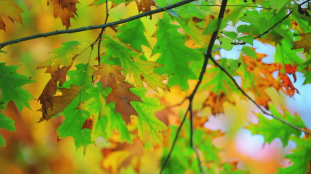 autumn leafs - twig stock videos & royalty-free footage