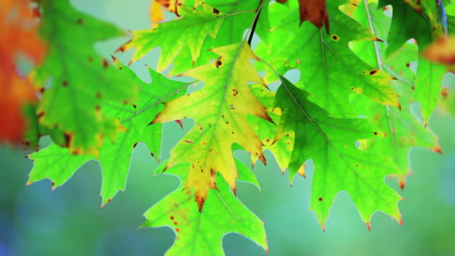 Herbst Leafs