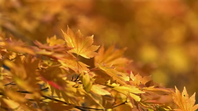 autumn leave background with beautiful sunlight at urabandai goshi-numa pond, fukushima, japan - autumn leaf color stock videos and b-roll footage