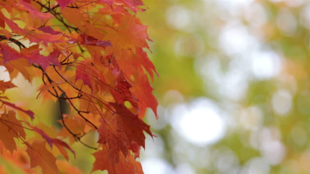 autumn leaves background uhd 4k - maple leaf stock videos and b-roll footage
