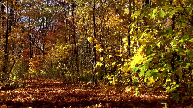 Autumn Leaves Blowing in Michigan Forest