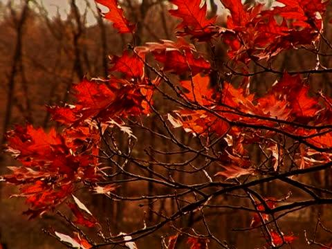 vídeos y material grabado en eventos de stock de hojas otoñales soplando en el viento. fotogramas progresivos - árbol de hoja caduca