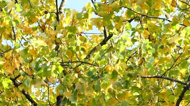 vídeos de stock, filmes e b-roll de folhas de outono ao vento - árvore de folha caduca