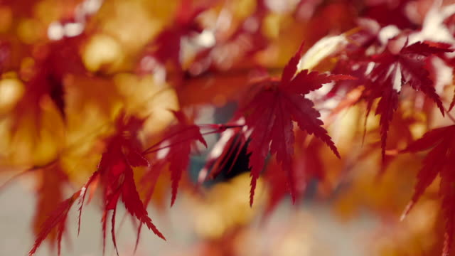 autumn leaves blowing in the wind. - autumn leaf color stock videos and b-roll footage