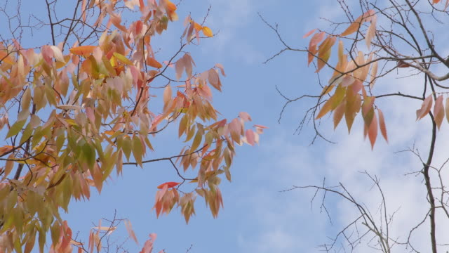 autumn leaves changing color / yangju-si, gyeonggi-do, south korea - changing color stock videos & royalty-free footage