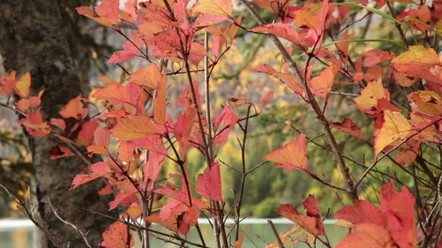 autumn leaves,  chugach national forest, alaska. - chugach national forest stock videos & royalty-free footage
