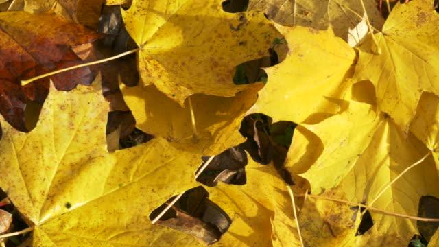 Autumn Leaves Close-up 4K pan.