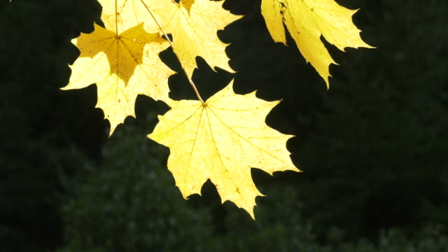 autumn leaves close-up 4k - season stock videos & royalty-free footage