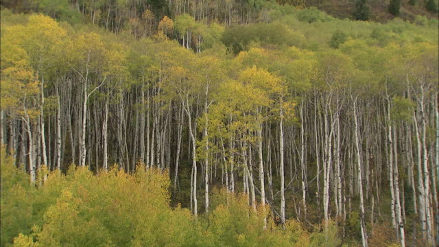 Autumn leaves color the treetops in a dense Aspen forest.