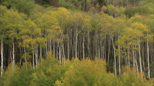 autumn leaves color the treetops in a dense aspen forest. - aspen tree stock videos & royalty-free footage