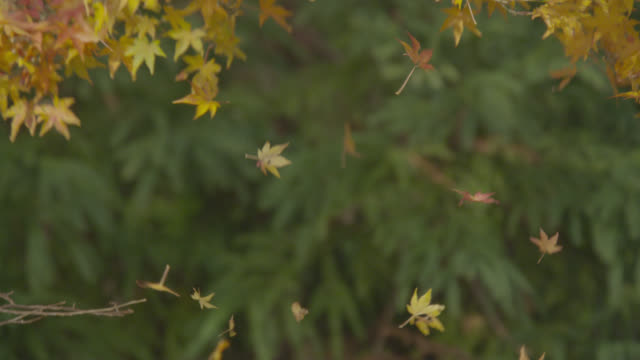 autumn leaves fall from tree, japan - 秋点の映像素材/bロール
