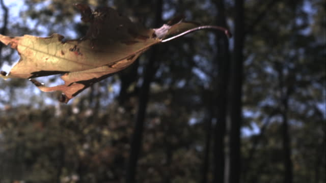 slomo autumn leaves fall from trees in forest, usa - blatt pflanzenbestandteile stock-videos und b-roll-filmmaterial