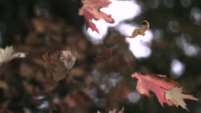 slomo autumn leaves fall from trees in forest, usa - foglia video stock e b–roll