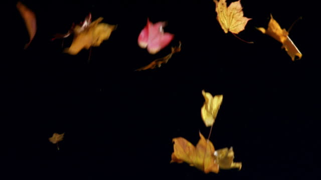 ms, autumn leaves falling against black background - cadere video stock e b–roll