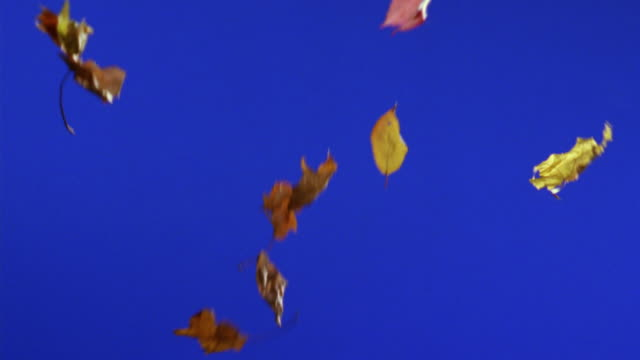 vídeos de stock, filmes e b-roll de ms, autumn leaves falling against blue background - outono