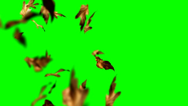 vídeos de stock e filmes b-roll de autumn leaves falling down on green screen chroma key loopable background - folhas