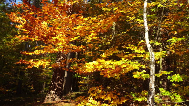 autumn leaves falling in the forest - hardwood stock videos & royalty-free footage