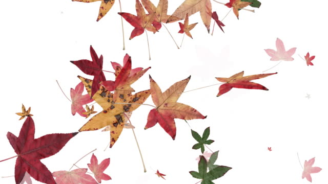 autumn leaves falling (hd loop) - maple leaf stock videos and b-roll footage