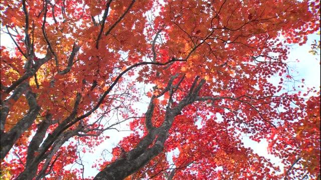 autumn leaves falls from a beech tree in a forest in mount chokai in japan. - 鳥海山点の映像素材/bロール