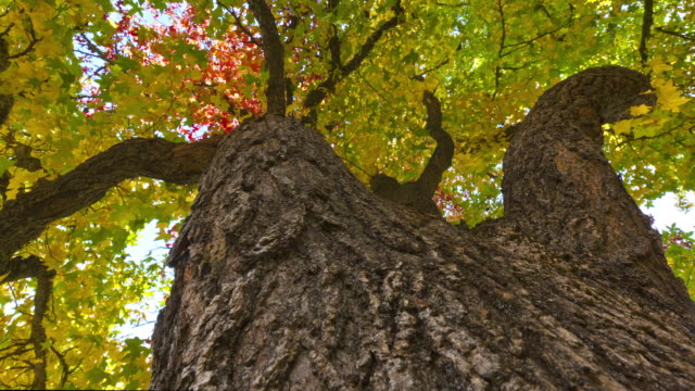 autumn leaves fill the branches of massive trees in oregon. - plant bark stock videos & royalty-free footage