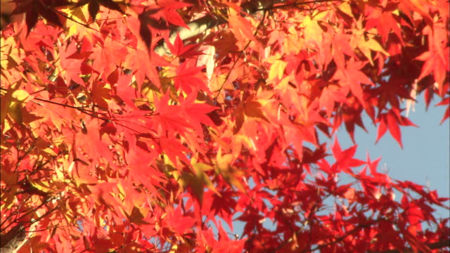 autumn leaves flutter in a breeze. - maple leaf stock videos & royalty-free footage