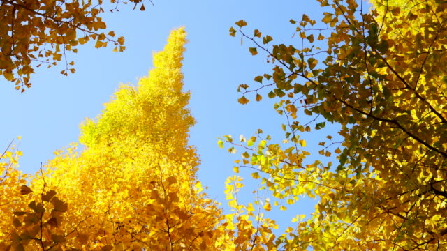 autumn leaves ginkgo trees are glowing and shaking in the blue sky at the ginkgo tree avenue in jingu gaien, chhiyoda ward, tokyo japan on november 17 2017. - alberato video stock e b–roll
